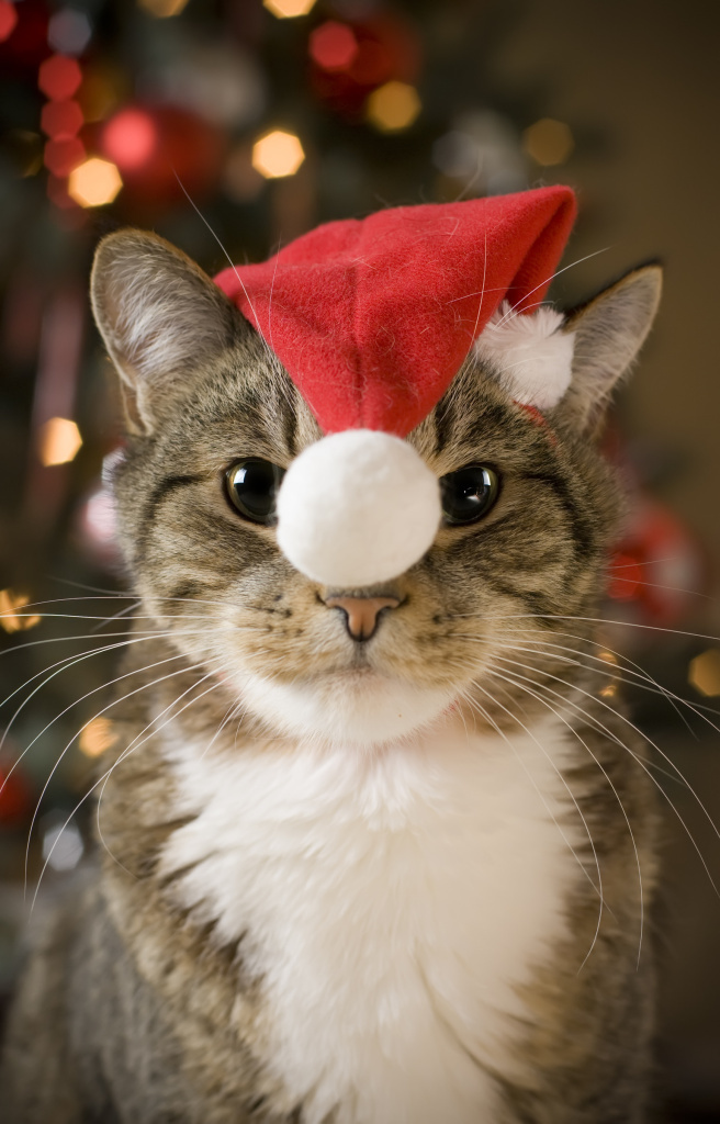 サンタコス,超絶,可愛い,猫ちゃん,画像,貼っていく with red hat