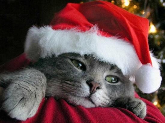 サンタコス,超絶,可愛い,猫ちゃん,画像,貼っていく006