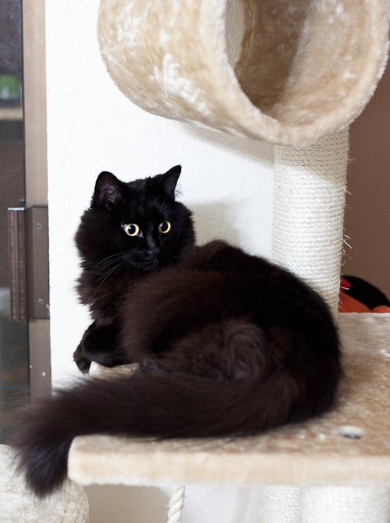 神秘的,美しい,黒猫,画像,貼っていく007