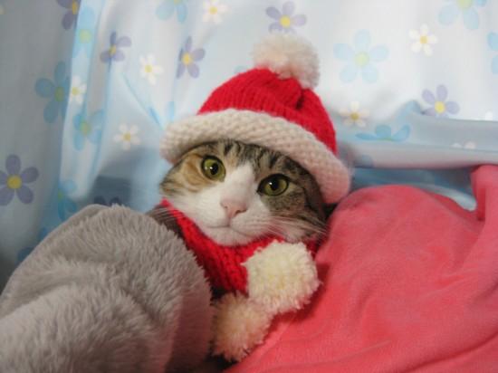 サンタコス,超絶,可愛い,猫ちゃん,画像,貼っていく009