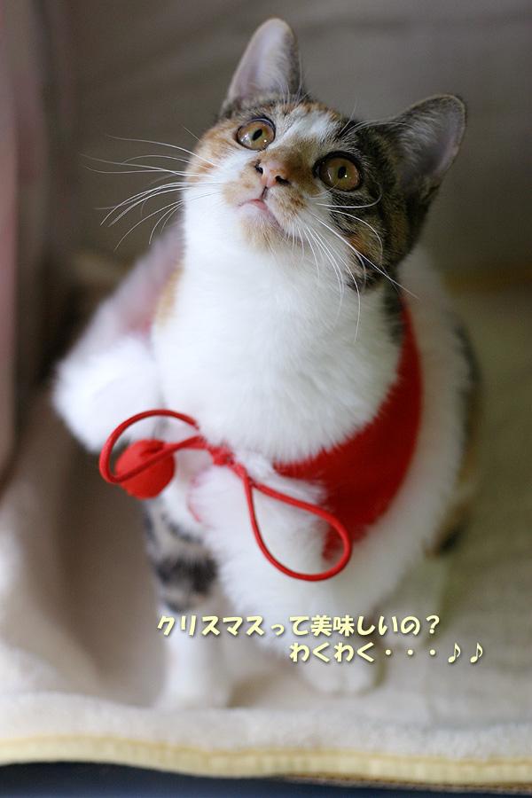 サンタコス,超絶,可愛い,猫ちゃん,画像,貼っていく011