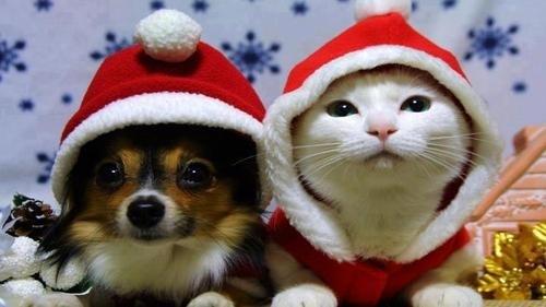 サンタコス,超絶,可愛い,猫ちゃん,画像,貼っていく017