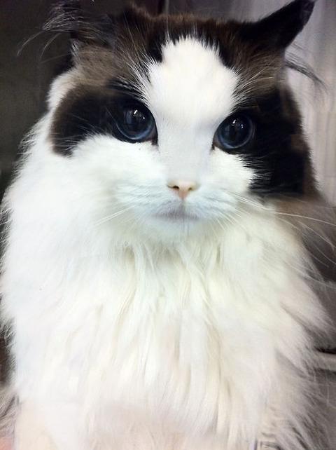 可愛すぎ,悶える,猫,画像,貼っていく020
