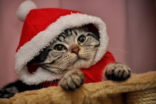 サンタコス,超絶,可愛い,猫ちゃん,画像,貼っていく020