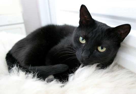 神秘的,美しい,黒猫,画像,貼っていく021