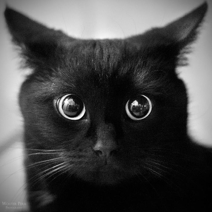 神秘的,美しい,黒猫,画像,貼っていく026