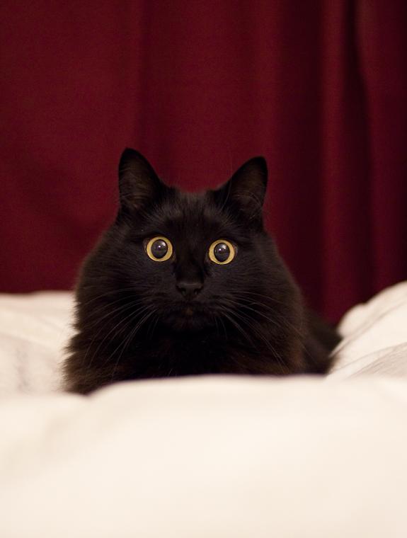 神秘的,美しい,黒猫,画像,貼っていく027