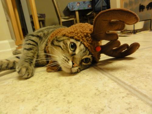 サンタコス,超絶,可愛い,猫ちゃん,画像,貼っていく028