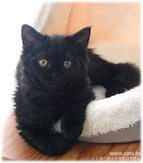 神秘的,美しい,黒猫,画像,貼っていく028