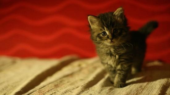美しく,見とれ,猫,画像,貼っていく033