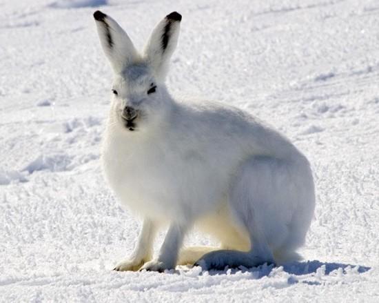 ホッキョクウサギ,画像,貼っていく001