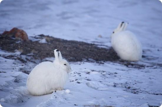 ホッキョクウサギ,画像,貼っていく005