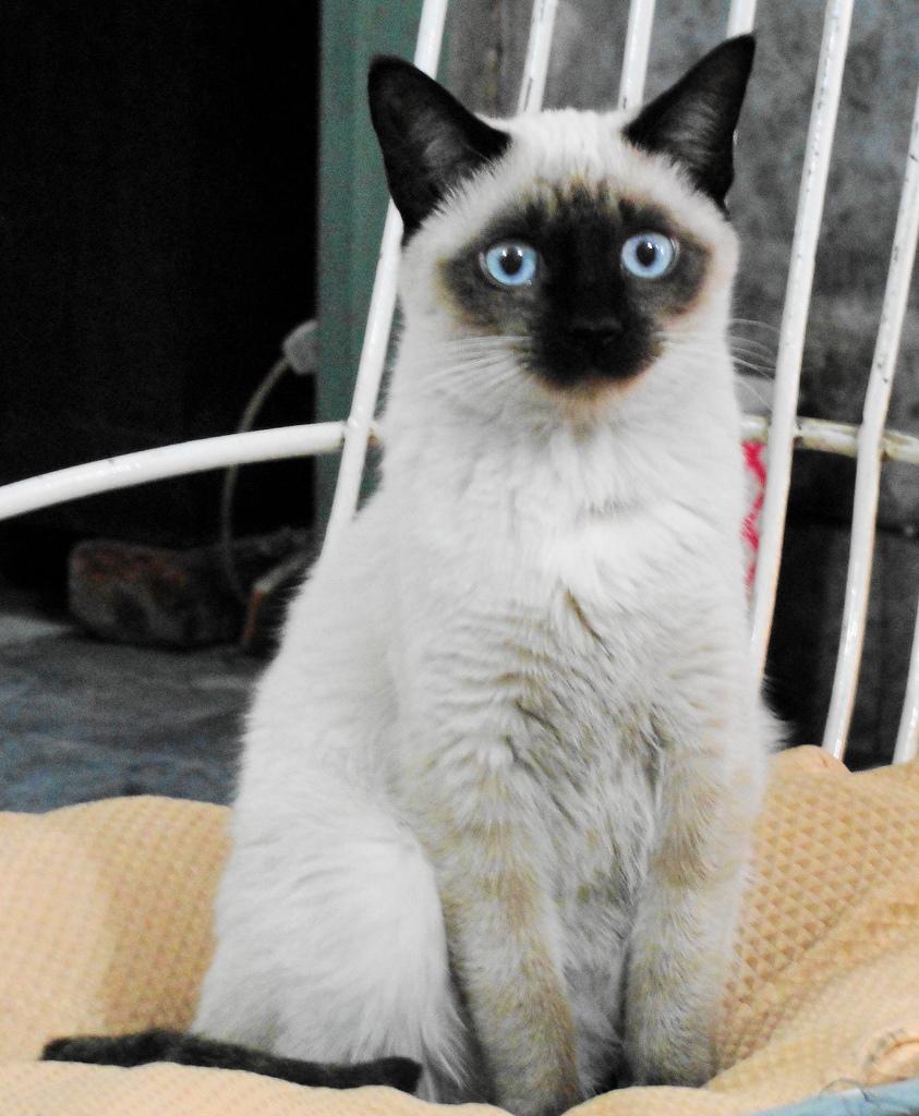 シャム,猫,画像,貼っていく007