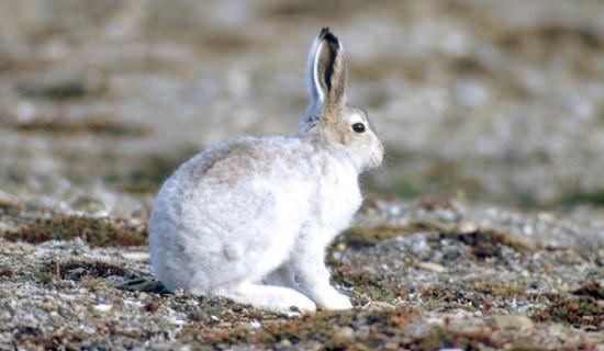 ホッキョクウサギ,画像,貼っていく010