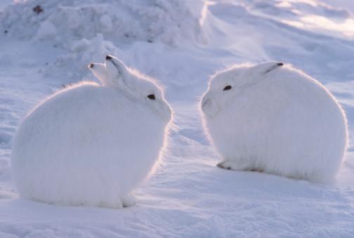 ホッキョクウサギ,画像,貼っていく012