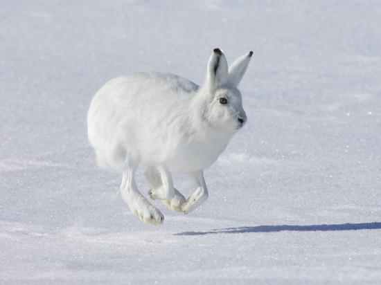 ホッキョクウサギ,画像,貼っていく015