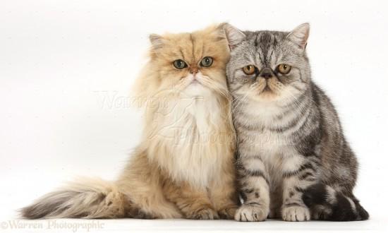 ペルシャ猫,画像,貼っていく015