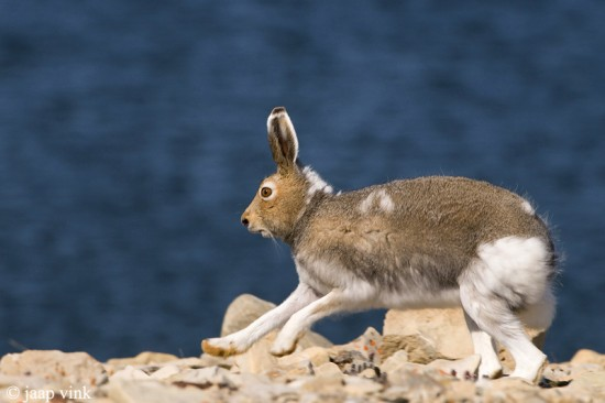 ホッキョクウサギ,画像,貼っていく016