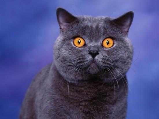 ブリティッシュショートヘア,猫,画像,貼っていく017
