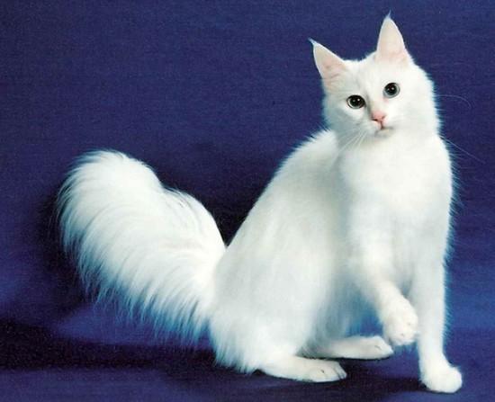 ターキッシュアンゴラ,画像,貼っていく,猫017