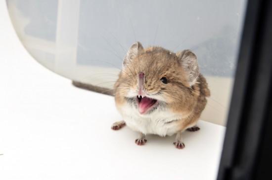 ハネジネズミ,画像,貼っていく018