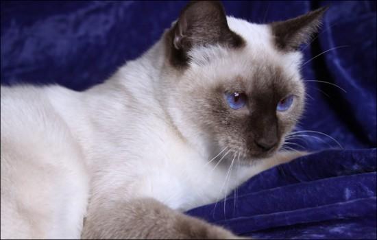 シャム,猫,画像,貼っていく018