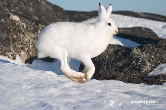 ホッキョクウサギ,画像,貼っていく021