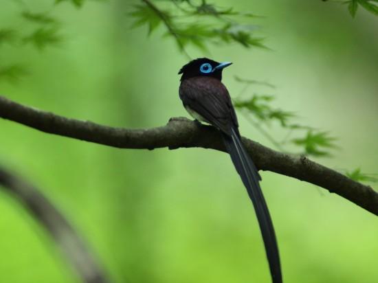 サンコウチョウ,鳥,画像,貼っていく021
