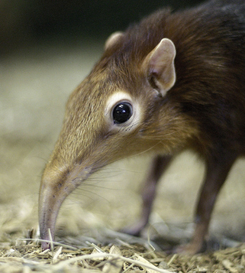 ハネジネズミ,画像,貼っていく022
