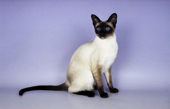 シャム,猫,画像,貼っていく023