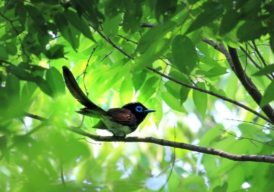 サンコウチョウ,鳥,画像,貼っていく025
