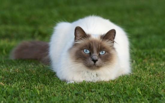 シャム,猫,画像,貼っていく026