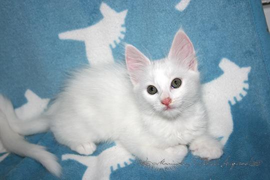ターキッシュアンゴラ,画像,貼っていく,猫028