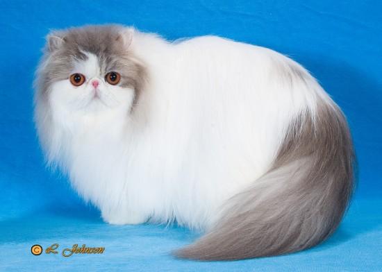 ペルシャ猫,画像,貼っていく029