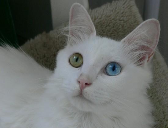 ターキッシュアンゴラ,画像,貼っていく,猫029
