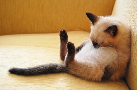 シャム,猫,画像,貼っていく029