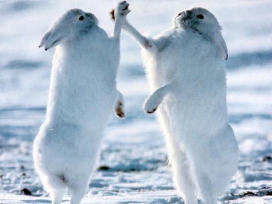 ホッキョクウサギ,画像,貼っていく031