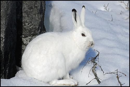 ホッキョクウサギ,画像,貼っていく032