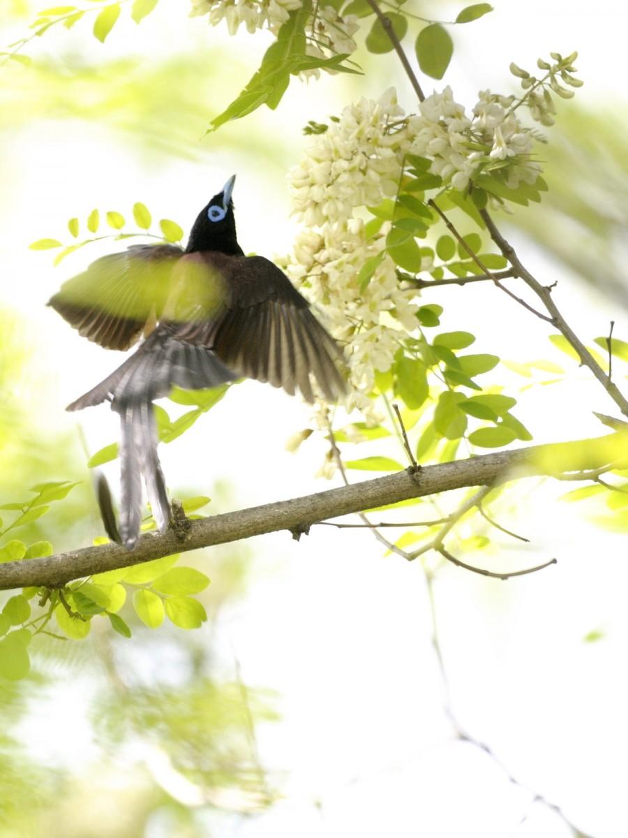サンコウチョウ,鳥,画像,貼っていく035