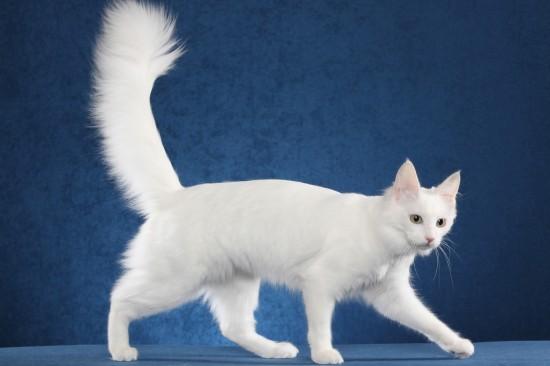 ターキッシュアンゴラ,画像,貼っていく,猫041