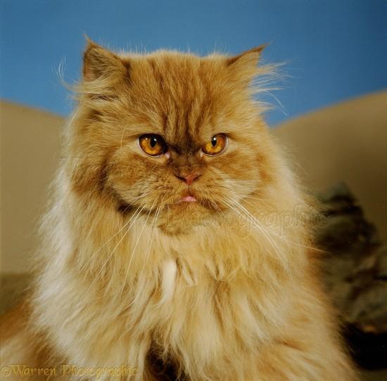 ペルシャ猫,画像,貼っていく046