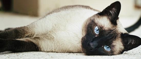 シャム,猫,画像,貼っていく046