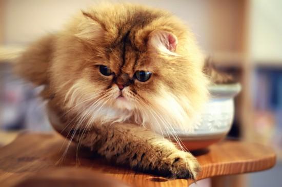 ペルシャ猫,画像,貼っていく050