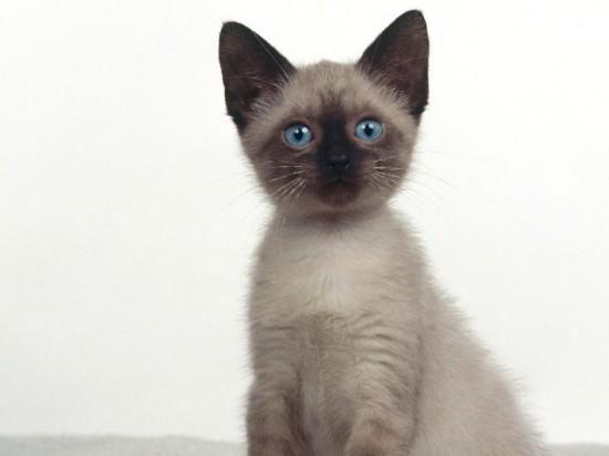 シャム,猫,画像,貼っていく051