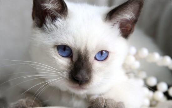 シャム,猫,画像,貼っていく052
