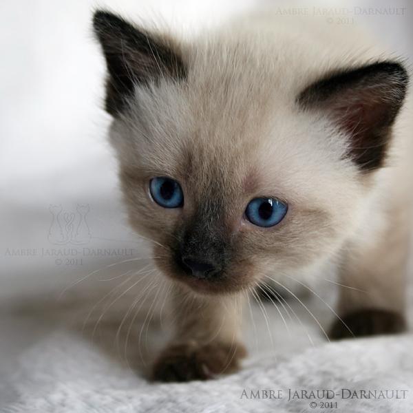 シャム,猫,画像,貼っていく059