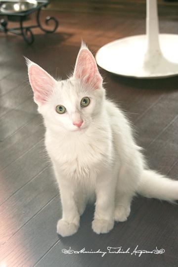 ターキッシュアンゴラ,画像,貼っていく,猫062