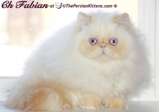 ペルシャ猫,画像,貼っていく063