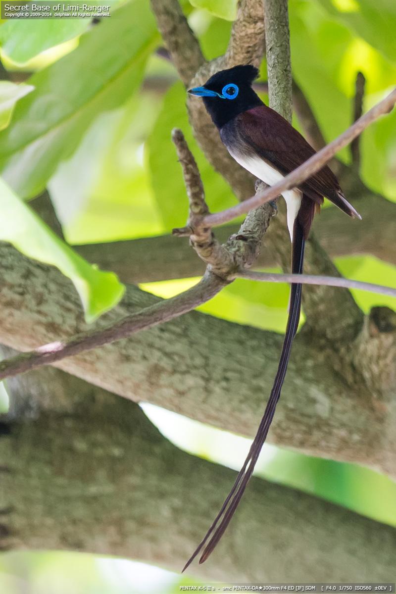 サンコウチョウ,鳥,画像,貼っていく064