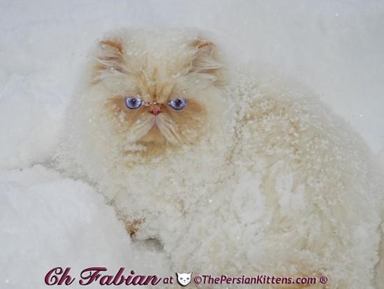 ペルシャ猫,画像,貼っていく068